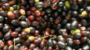 Read more about the article Introducción al aceite vegetal de acebuche silvestre