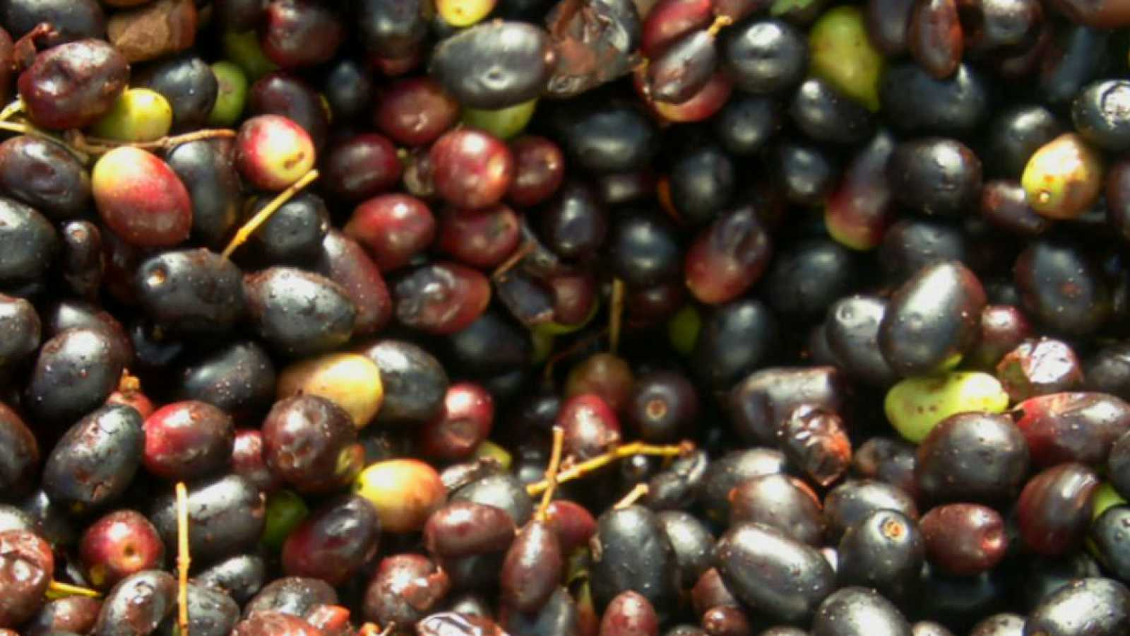 Introducción al aceite vegetal de acebuche silvestre