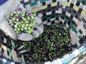 La química del aceite vegetal de acebuche silvestre